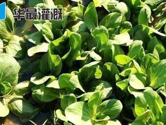 滴灌油菜的需水规律及灌溉方案