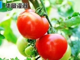 温室大棚滴灌番茄需水规律及灌溉方案