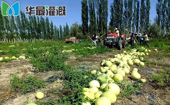滴灌打瓜需肥规律以及施肥方案