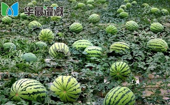 西瓜滴灌需水规律及灌溉方案