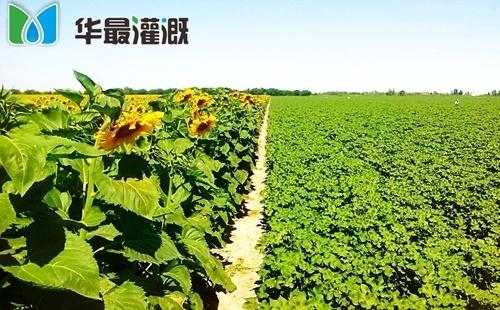 向日葵滴灌需水规律及灌溉方案