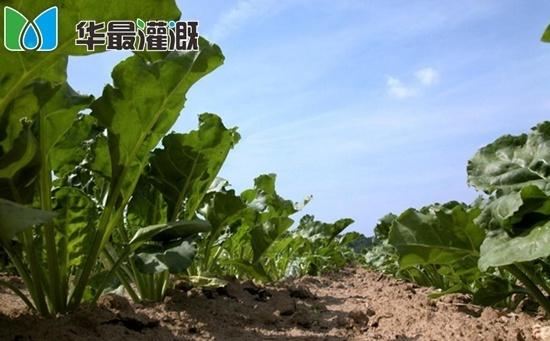甜菜滴灌需水规律及灌溉方案